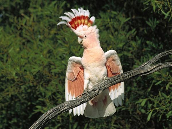 kakadu-bilder-papagei-bilder-papagei-bilder