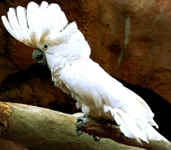 kakadu-weißer-papagei-bilder-papagei-bild