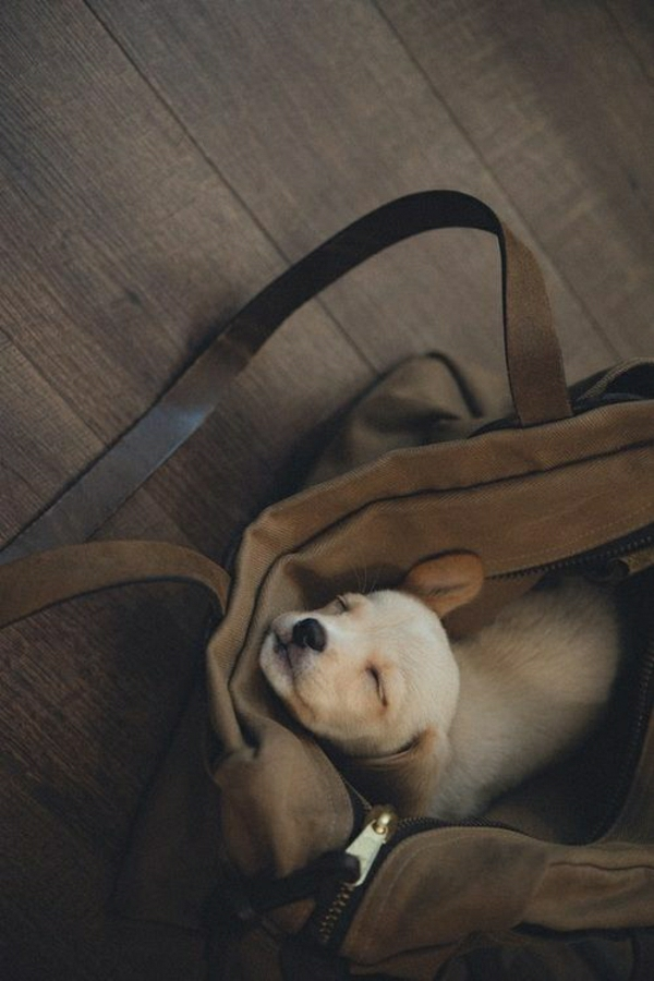 kleiner-Hund-Tasche-verstecken