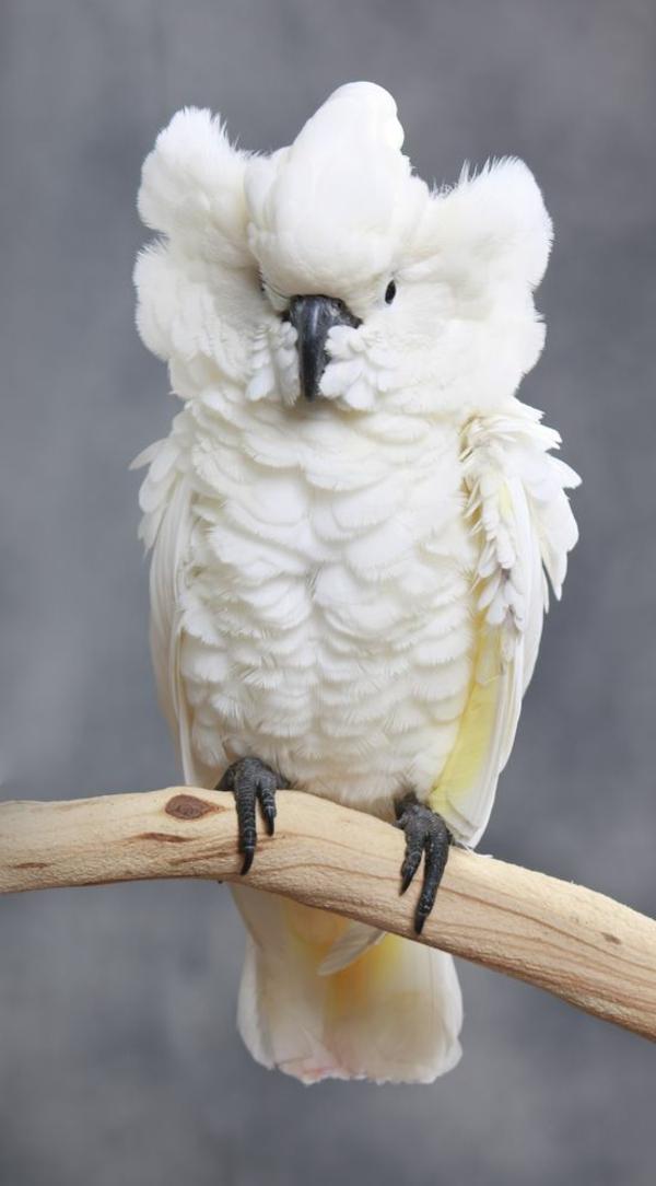 papagei-bilder-kakadu-weiß-