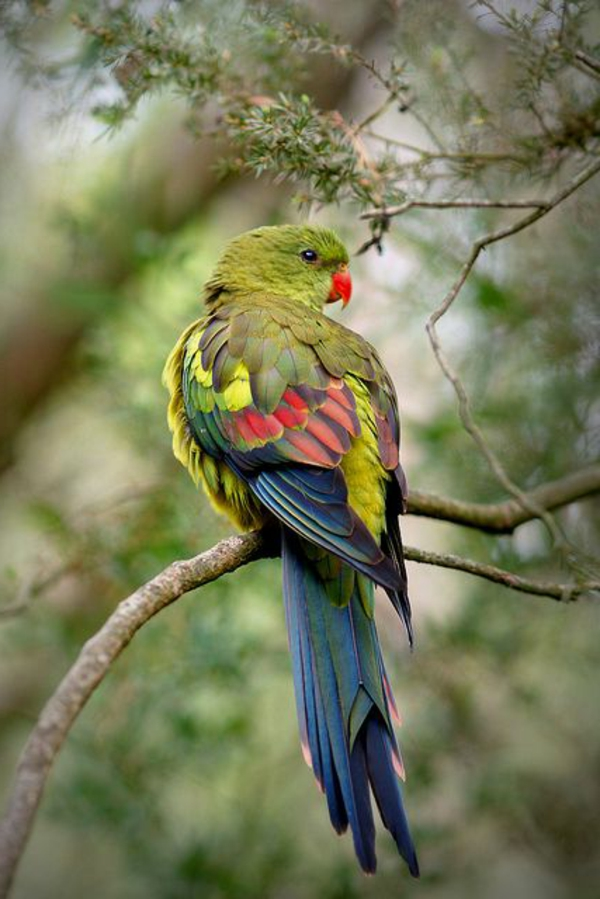 --papagei-papagei-kaufen-papagei-kaufen-papagei-bilder-bunter-papagei