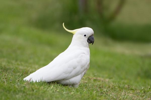 papagei-bilder-papagei-bild-kakadu-weiß