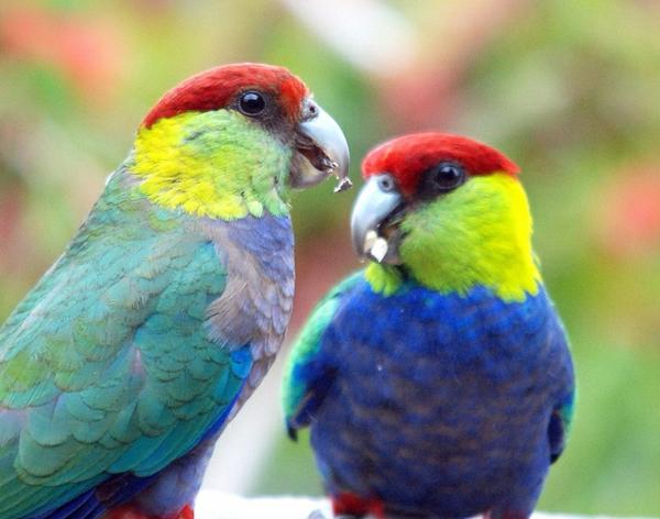 papagei-papagei-kaufen-papagei-kaufen-papagei-bilder-bunter-papagei-