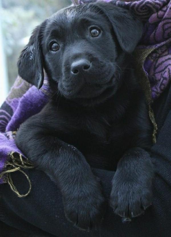 süßer-Labrador-Blick