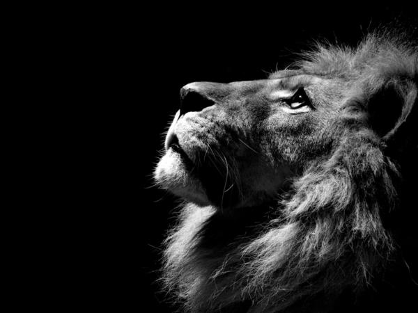 schöner-Löwe-Stolz