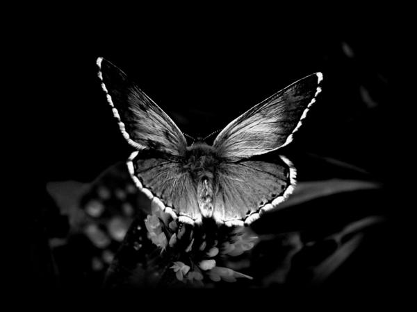schöner-Schmetterling-schwarzer-Hintergrund