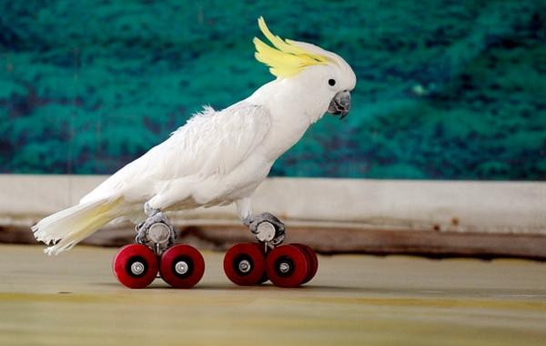 skating-parrot-papagei-kakadu-bilder