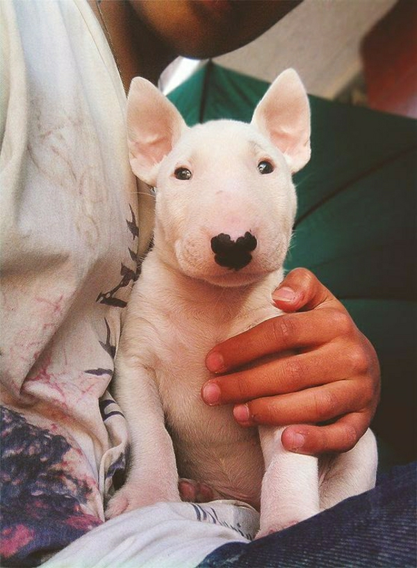 weißer-Bullterrier-kleine-Augen