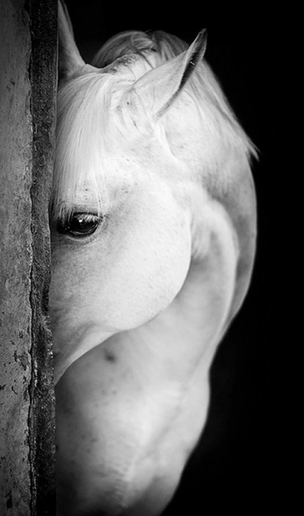weißes-Pferd-traurige-schwarze-Augen