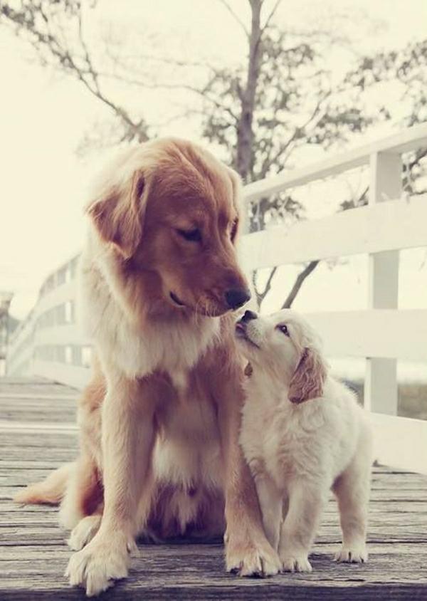 Hunde-Rassen-zwei-Golden-Retriever