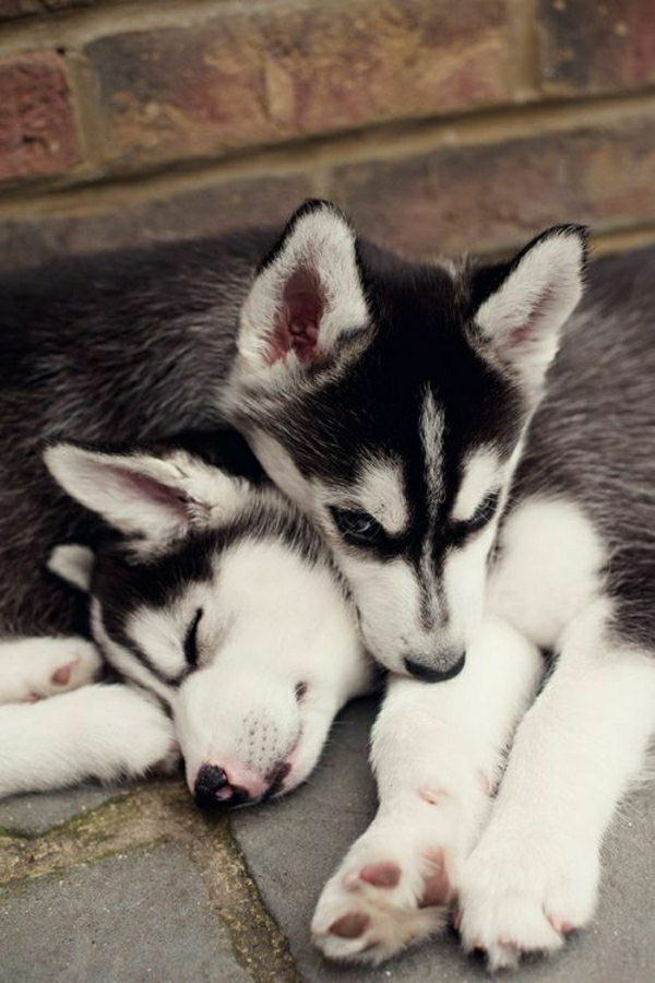 zwei-Schlittenhunde-Zärtlichkeit