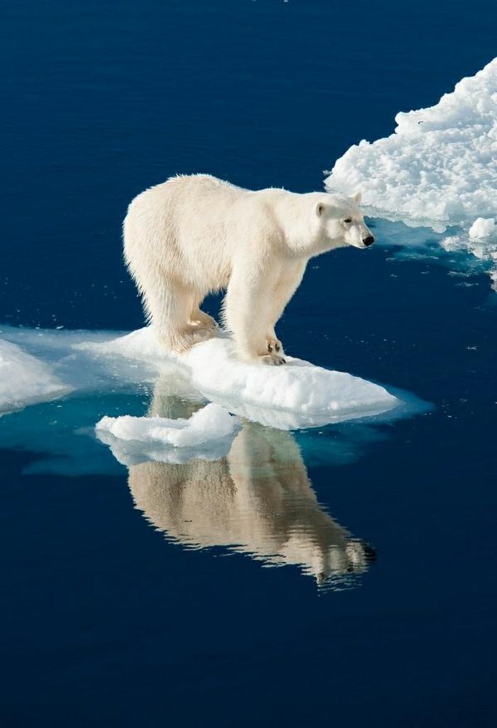coole-Bilder-Polarbär-Eis