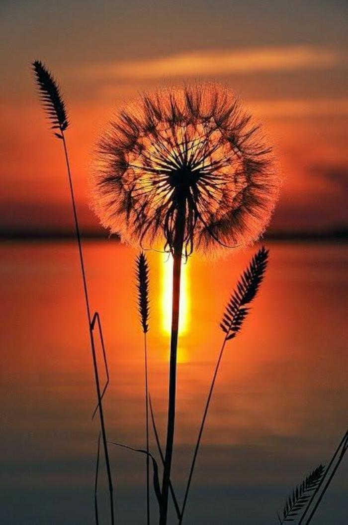 Sonnenuntergang-Bilder-Löwenzahn-schön-romantisch