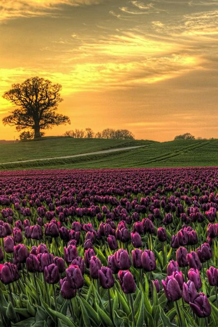 Sonnenuntergang-Natur-Baum-Gras-lila-Tulpen-Vesterborg-Dänemark