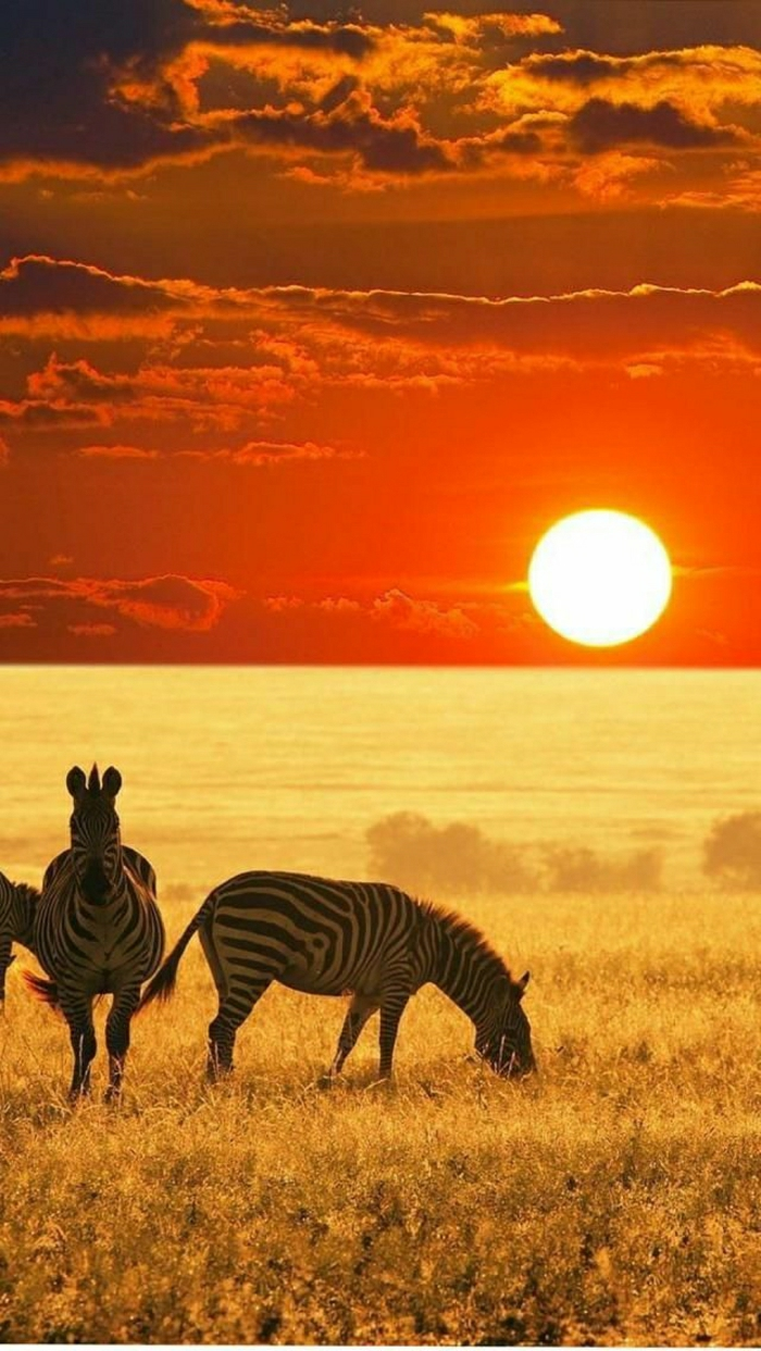 Sonnenuntergang-Natur-Feld-Zebras-exotisch