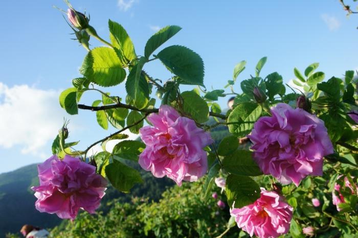 bulgarische-rose-blauer-himmel