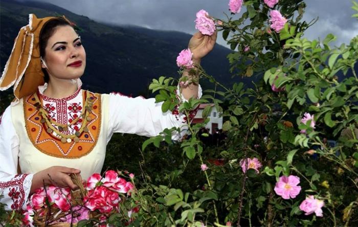 bulgarische-rose-eine-wunderschöne-dame