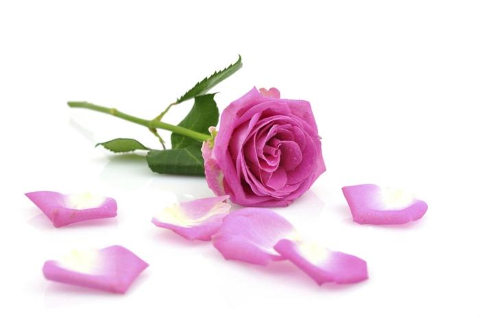 bulgarische-rose-einfach-und-schön