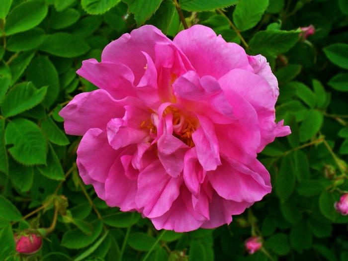 bulgarische-rose-foto-vom-nahen-genommen