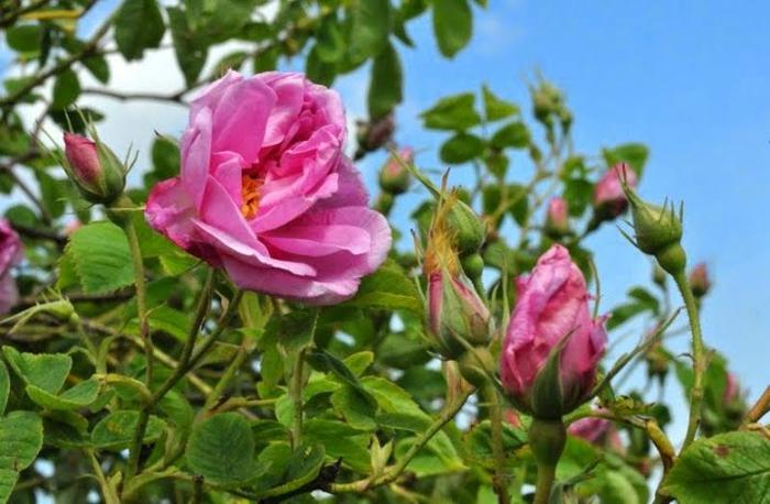 bulgarische-rose-grüne-blätter-und-rosige-blumen