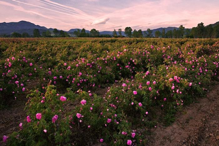 bulgarische-rose-große-wiesen-wunderschönes-foto