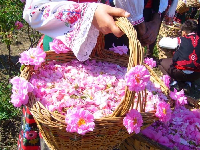 Die Bulgarische Rose: Eine Große Sensation