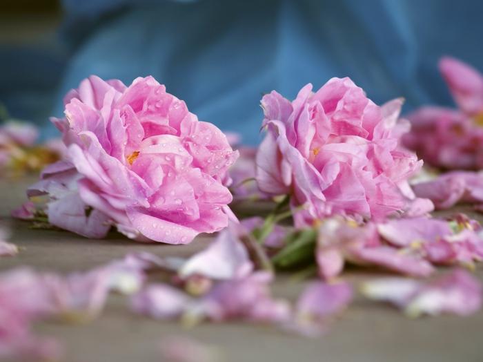 bulgarische-rose-sehr-süß-aussehen