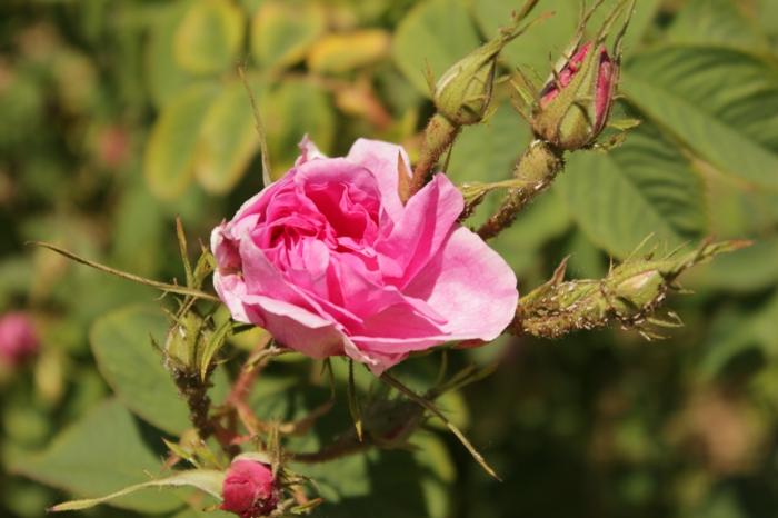 bulgarische-rose-sehr-schöne-zärtliche-blume