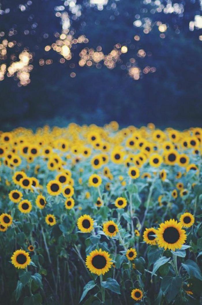 Bild-Feld-von-Sonnenblumen-Natur-Sommer