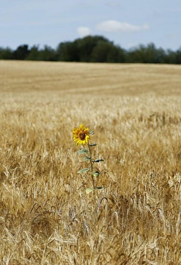 Feld-Sommer-sonnig-einzige-Sonnenblume-Foto