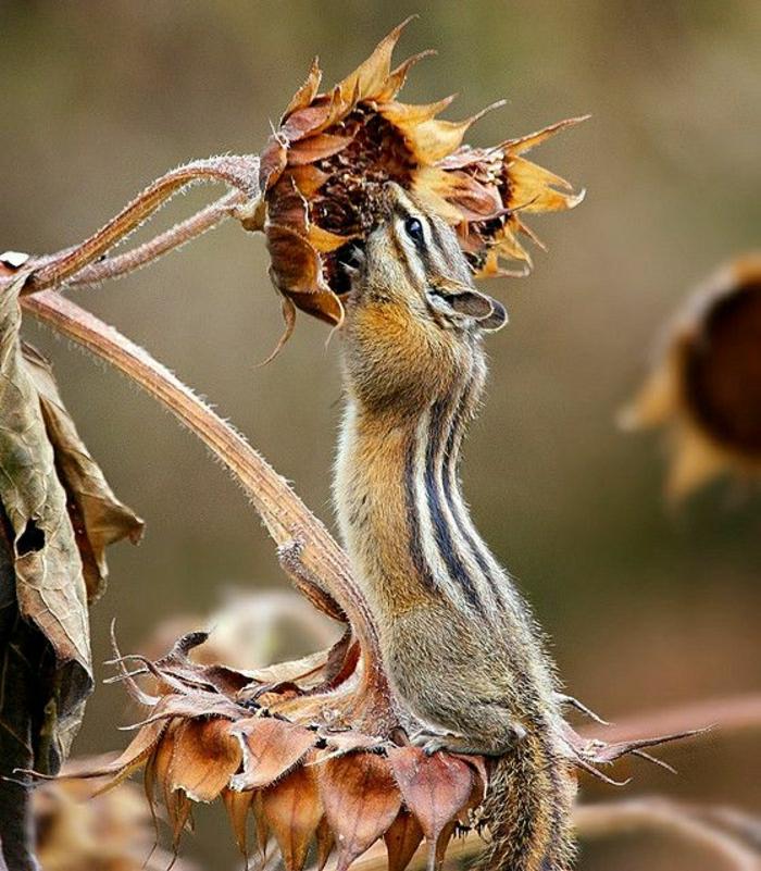 Foto-verwelkte-Sonnenblume-Nagetier-fressend