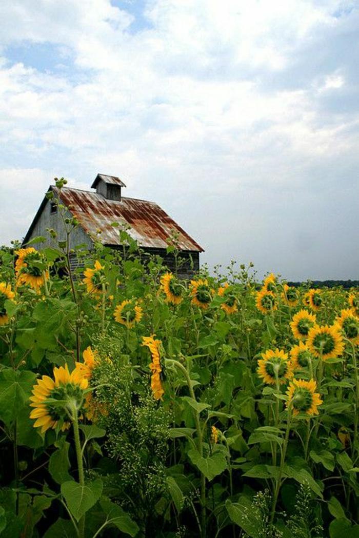 Haus-Illinois-Sonnenblumen-Feld-Himmel-Natur