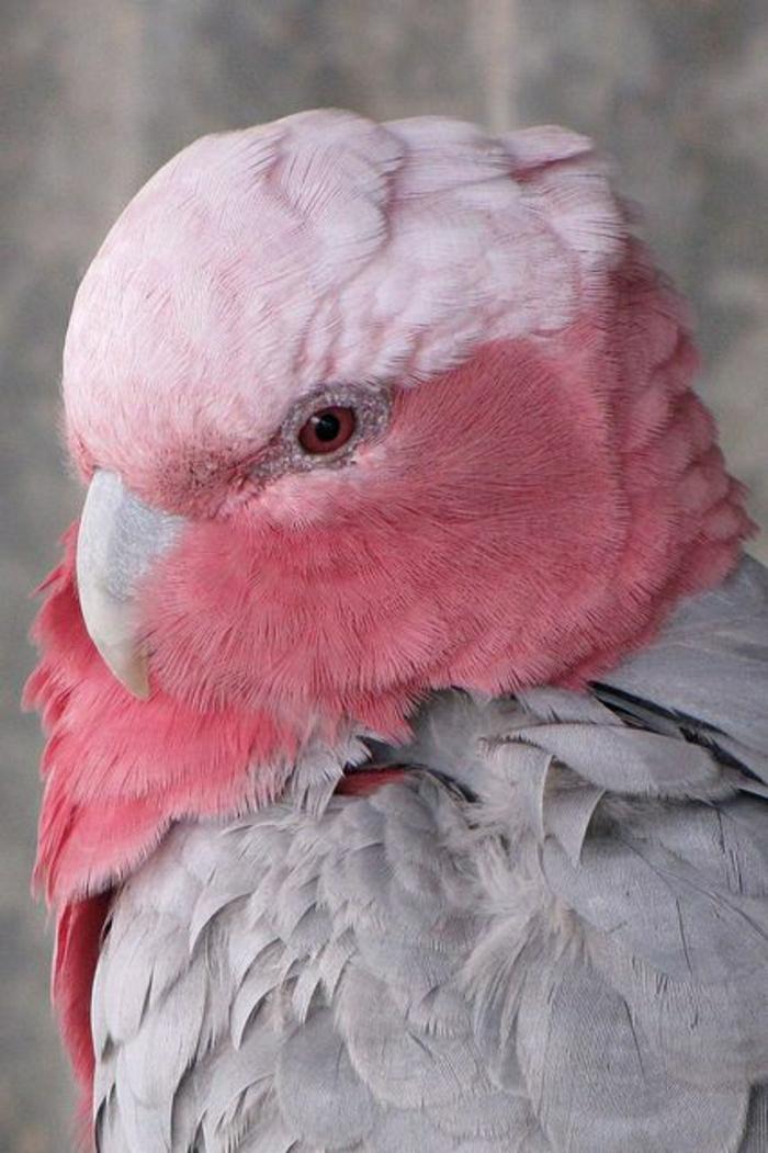 Kakadu-Australien-rosa-Kopf-grauer-Körper