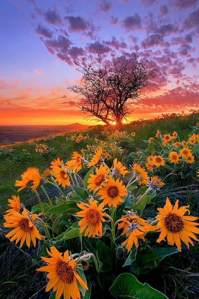 Naturbild-Feld-Sonnenblumen-Sonnenuntergang-romantisch-nostalgisch