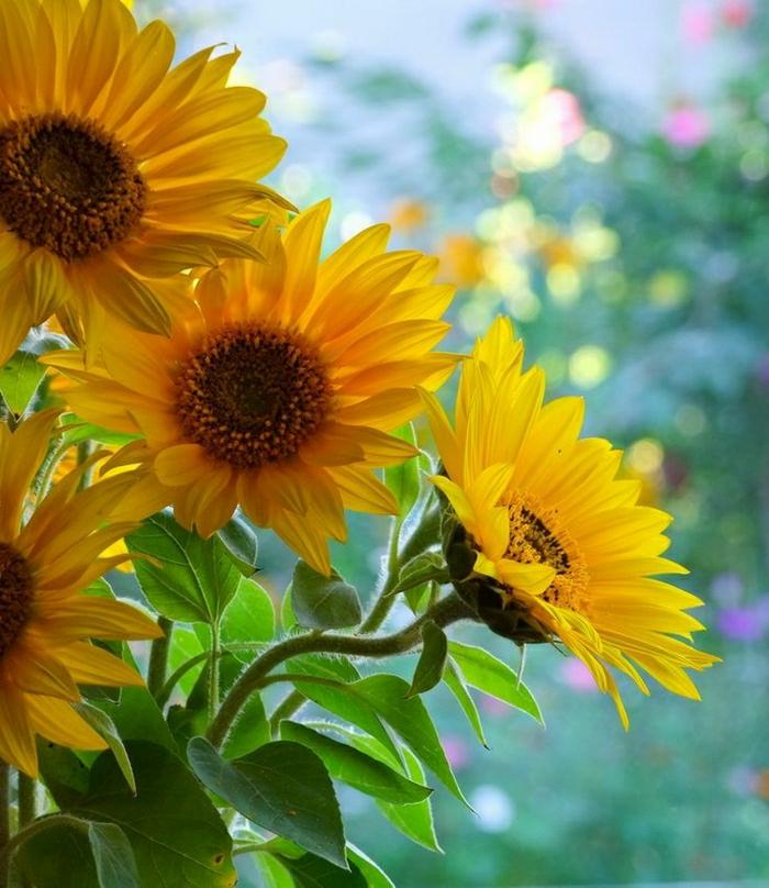 Naturbild-Sonnenblumen-schön-herrlich
