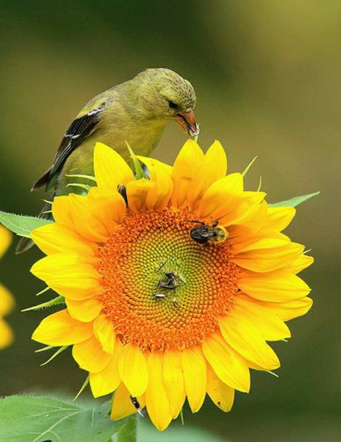 Sonnenblume-Bienen-Vogel-Bild-Natur