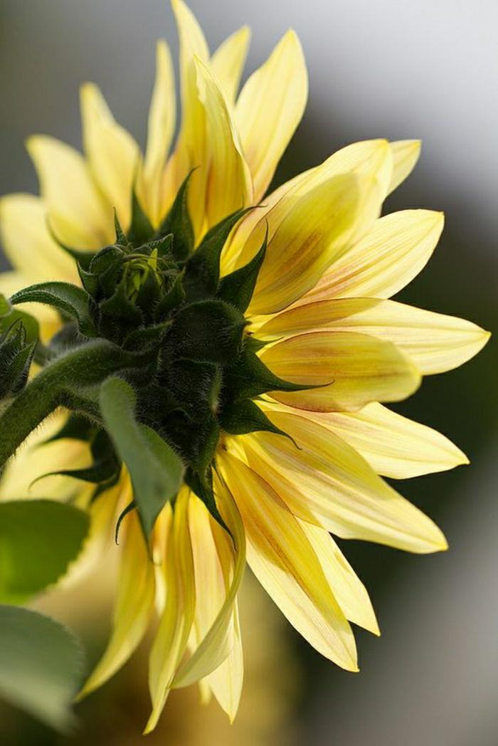 Sonnenblume-Bild-Rücken-Rückseite-Naturbild