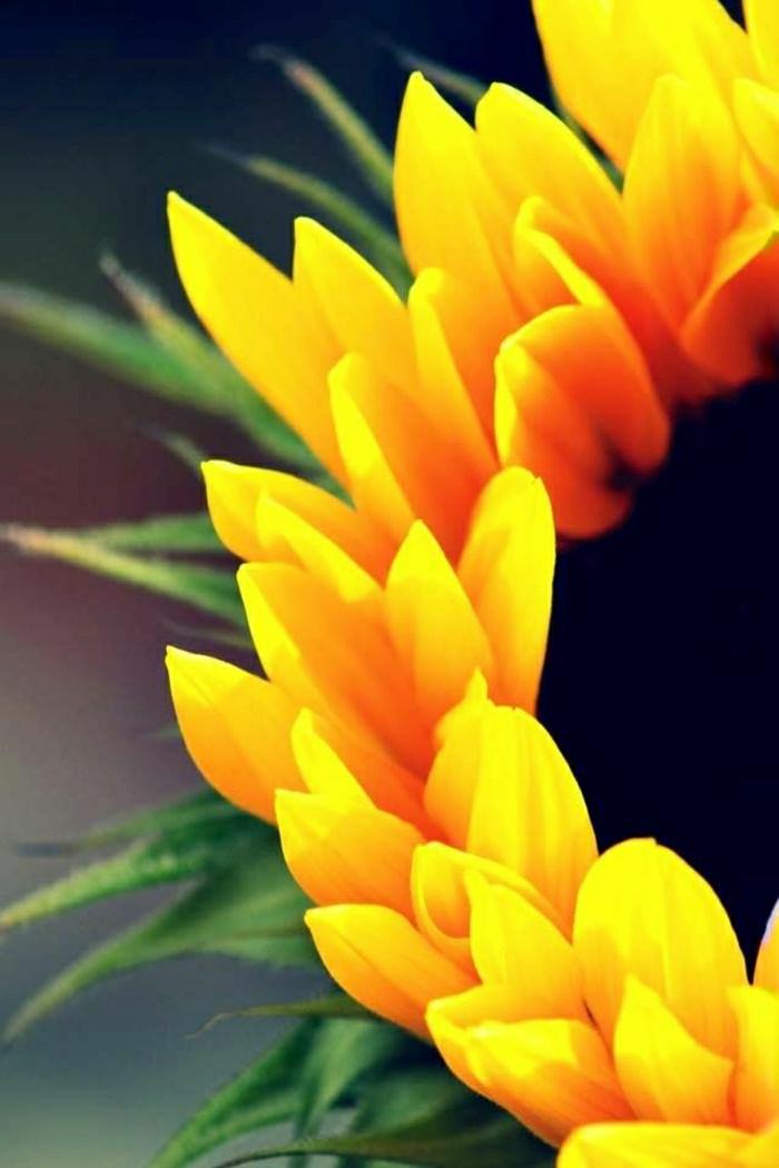 Sonnenblume-Bild-von-nah-Fotografie-Kunst