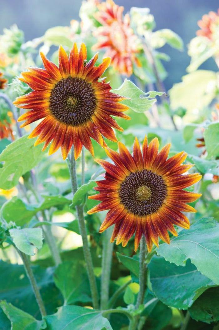 Sonnenblumen-Art-orange-Farbe-interessant