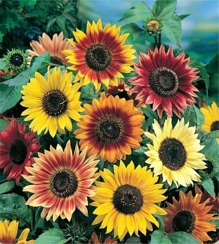 Sonnenblumen-Bilder-Mischung-verschiedene-Farben
