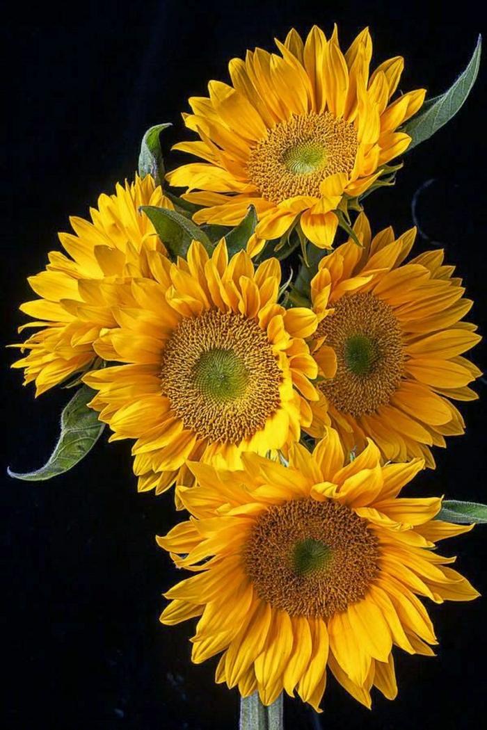Sonnenblumen-Bilder-malerisch-Strauß