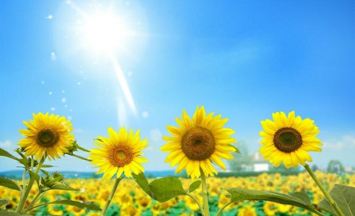 Sonnenblumen-Bilder-sonnig-herrlich-hell-Somme-Sonne-blauer-Himmel