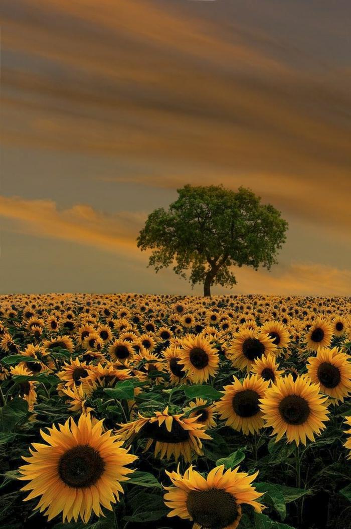 Sonnenblumen-Feld-Baum-Sommer-Sonnenuntergang