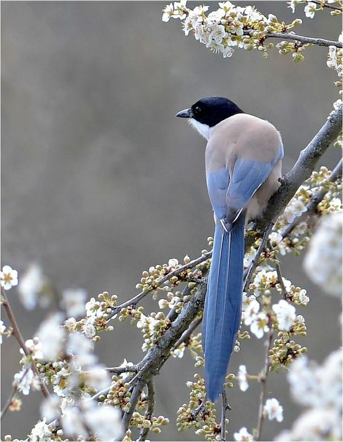blaue-Elster-schöne-bunte-Federn-Baum-Blüte