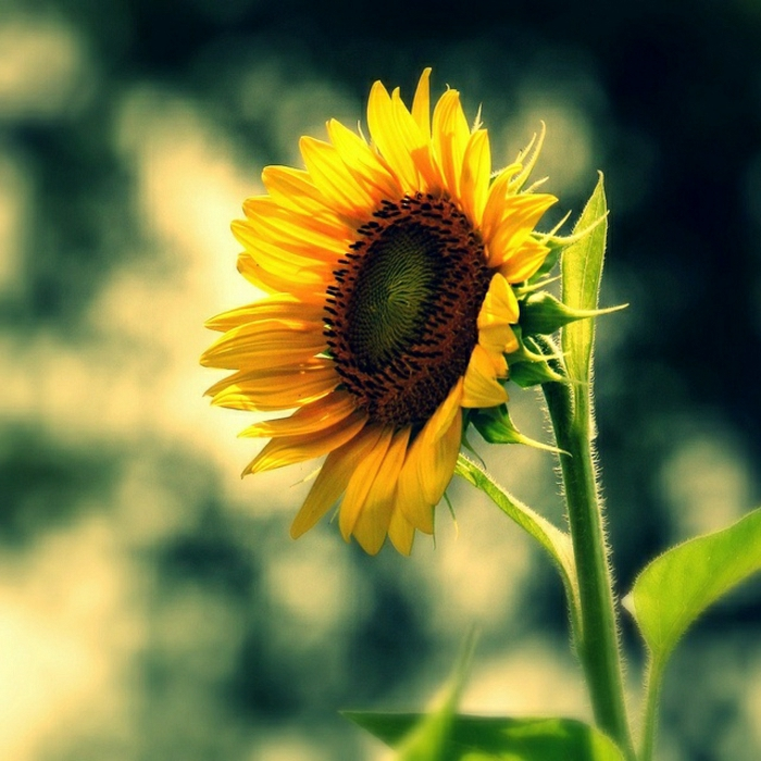 einzige-einsame-Sonnenblume-schönes-Foto-Kunst