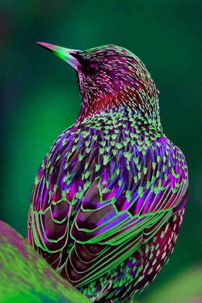 europäischer-Starling-lila-grüne-Federn