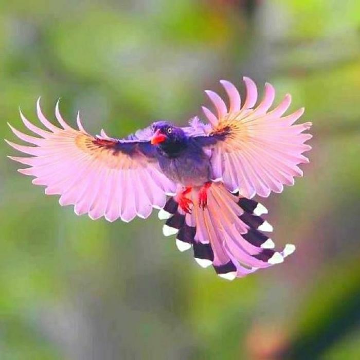 fliegende-Elster-rosa-Federn-lila-Körper-schwarz-blauer-Kant