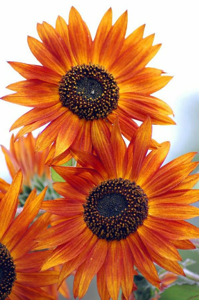 orange-Sonnenblumen-Bild-sonnige-Laune-verursachen