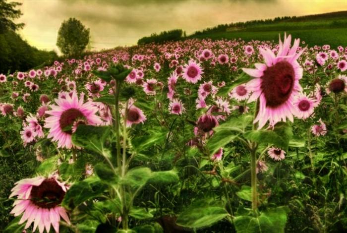 Sonnenblumen-Bilder-herrlich-faszinierend-Foto-Art-rosa-Blumen