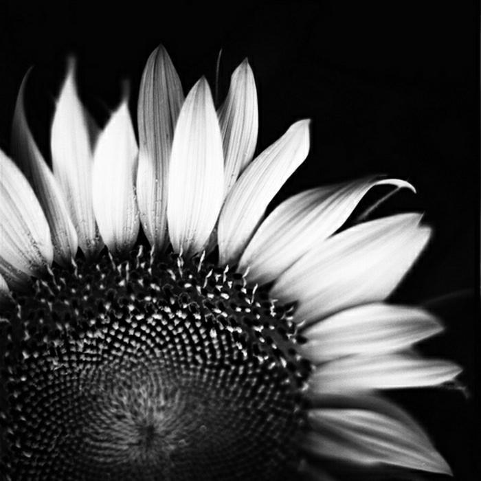 schwarz-weiße-Natur-Fotografie-Sonnenblumen-Bilder-von-nah
